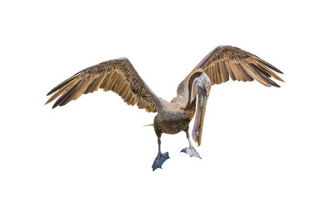 Brown pelican with open wings. Mexico, Baja California Sur.