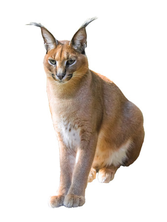 Caracal cat isolated on white .