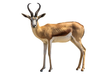 Springbok Antidorcas marsupialis isolated on white .
