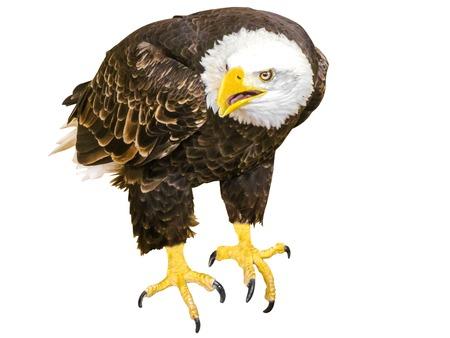 aguila calva: Águila calva americana blanco, vista frontal, aislado en blanco. Foto de archivo
