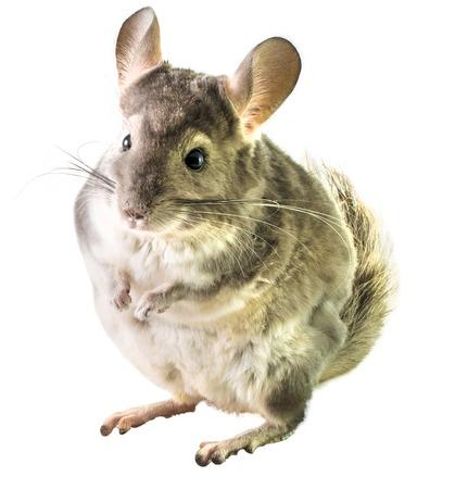 chinchilla: Chinchilla isolated on white .