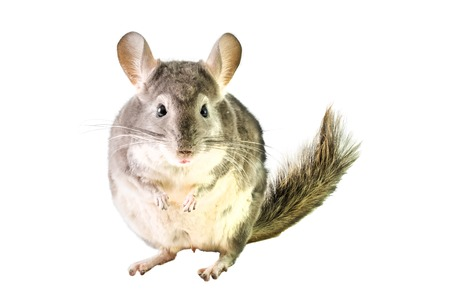 chinchilla: Fat furry chinchilla isolated on white .
