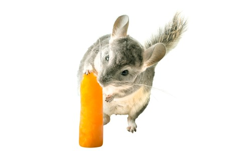 chinchilla: Chinchilla licking orange ice lolly on white .