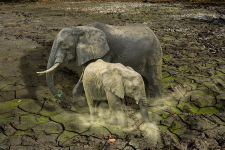 surviving: The last surviving elephants on cracked earth background. Endangered concept, love concept, survival concept, global warming concept, loneliness, pollution concept.