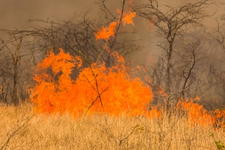infernal: Close-up of an infernal forest fire that destroys an entire area of trees and bush.