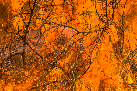 burning bush: Close-up of an infernal forest fire that destroys an entire area of trees and bush.
