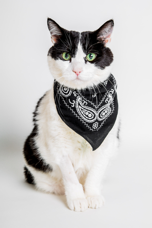 green white: Portrait of a cute green eyed cat wearing a bandana with a white studio background.