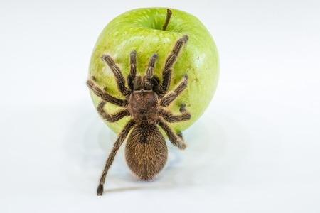poisoned: A tarantula spider on a green apple, isolated on white background. Concept poisoned apple, cancer, disease.