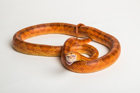 harmless: Coiled corn snake on a white studio background.