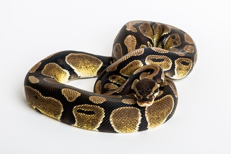 royal background: A royal python coiled up, isolated on white background.