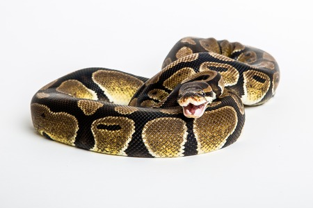 Royal or Ball Python snake, isolated on white background.