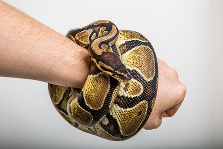brute: Closeup of a royal or ball python coiled around the arm on studio background.  Concept of strong punch, power, snake bracelet, brute force . Stock Photo