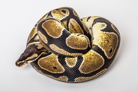 royal python: Closeup of a african coiled royal or ball python snake on a white background. Stock Photo