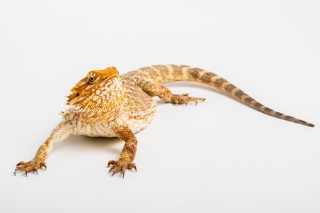 bearded dragon lizard: Pogona or Central Inland Bearded Dragon Lizard on a white background.