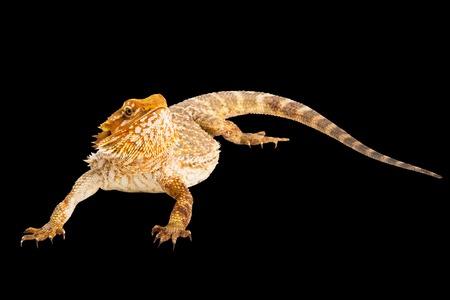 bearded dragon lizard: Pogona Vitticept o Bearded Dragon Lizard Australian, black background, isolated.