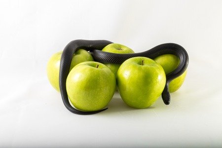 temptation: Black nigrita snake on green smith apples isolated; on white background, temptation concept, poison apples concept, original sin.