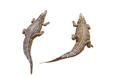 white nile: Dos cocodrilos del Nilo de �frica sobre fondo blanco puro. Crocodylus niloticus.