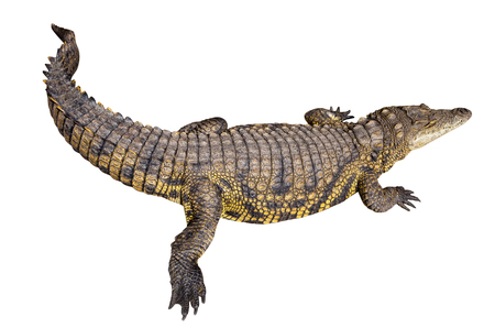 niloticus: Nile African crocodile on pure white background. Crocodylus niloticus. Stock Photo