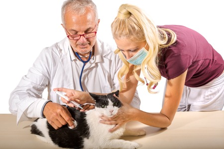 vaccinate: Veterinarians vaccinate a cat with syringe, isolated on white background.