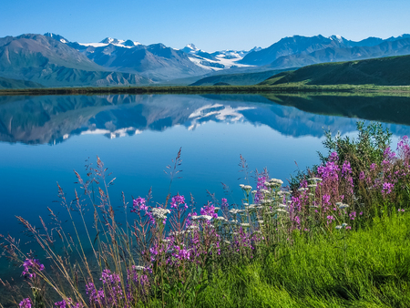 Wildflowers on the bank of Tanana Valley State Forest, Alaska with the mountains reflecting in the water. Reklamní fotografie