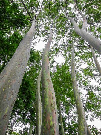 eucalyptus trees: Painted Eucalyptus trees in the rain forest, Maui, Hawaii, USA. Stock Photo
