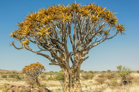 dichotoma: National Monument of Quiver Tree Forest, consisting of aloe trees, in Namibia. Stock Photo