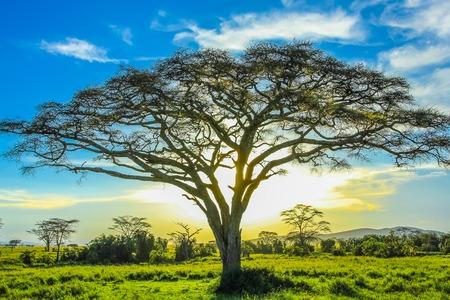 セレンゲティ国立公園、タンザニア、アフリカの平原の真ん中に夕暮れ時アフリカの木。