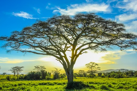 African tree at sunset in the middle of the plains of the Serengeti National Park, Tanzania, Africa.