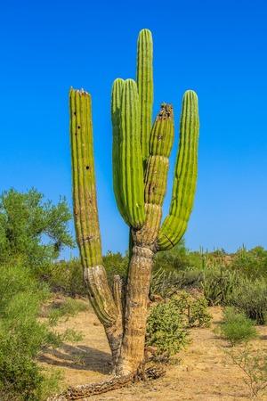 Large elephant Cardon cactus or cactus Pachycereus pringlei at a desert landscape in the blue sky, Baja California Sur, Mexico.