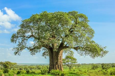 Árbol Baobab en el Parque Nacional Tarangire en Tanzania. su enorme tamaño. en el cielo azul. Foto de archivo