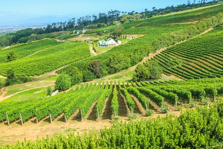 and south: Vinery farm living in green grapevine, Constantia, Cape Town, South Africa.