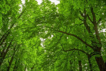 arboles frondosos: Árboles de hoja verde en Parco Talon o Chiusa en Italia.