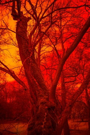 infernal: Surreal tree in red infernal fog, horror atmosphere. Effect obtained with infrared filter.