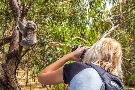 koala: Vida Silvestre Mujer fotógrafo toma imágenes de un koala mientras que sube un árbol en Phillip Island, en el estado de Victoria, Australia. Foto de archivo