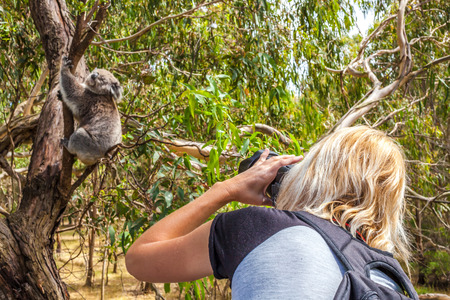 Wildlife Woman photographer takes pictures of a Koala while climbing a tree at Phillip Island in the state of Victoria, Australia.