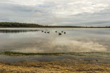 helens: Blacks swans in drammatic and cloudy landscape in Georges Bay, St Helens, the most important city on the East Coast, Tasmania, Australia. Concept of purity, peace, calm and tranquility. Stock Photo