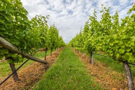 between: Closeup of vineyard field in the area between Richmond, Cambridge and Hobart in Tasmania, Australia. Stock Photo