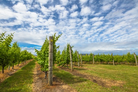 Vineyard in the area between Richmond, Cambridge and Hobart in Tasmania, Australia.