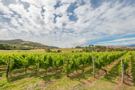 aus: Colourful vineyard Landscape in the area between Richmond, Cambridge and Hobart in Tasmania, Australia.