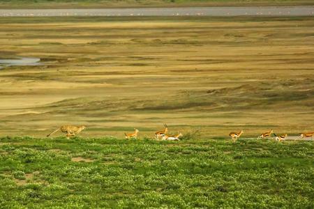 springbok: Cheetah running and hunting springbok in Tarangire National Park, Tanzania Africa.