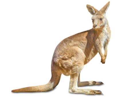 Red australian kangaroo, Macropus rufus, sideways and isolated on white .