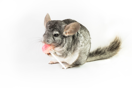 observant: An ancestral Chilean Chinchilla with observant facial expression holding a lollipop with its legs on gray background. Stock Photo