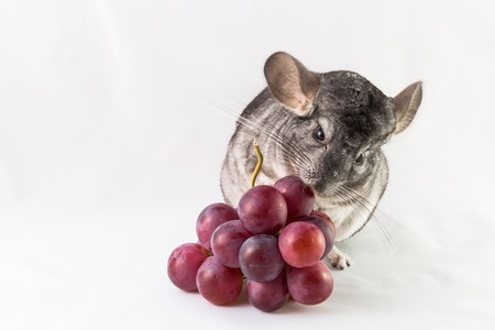 nibbling: Pet chinchilla nibbling on a bunch of red purple grapes, isolated on white background. Stock Photo