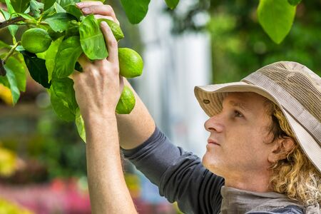 Farmer checking and controlling lemons on the tree. Concepts of sustainable living, work outdoors, contact with nature, healthy food.