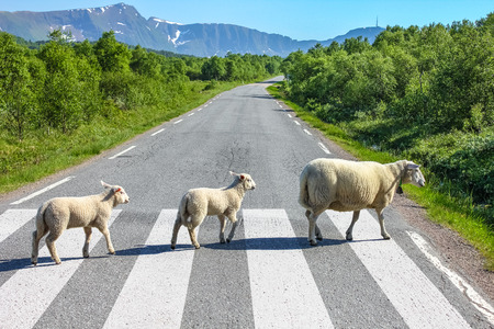 Sheeps crossing a country road in style on a zebra crosswalk. Stock Photo