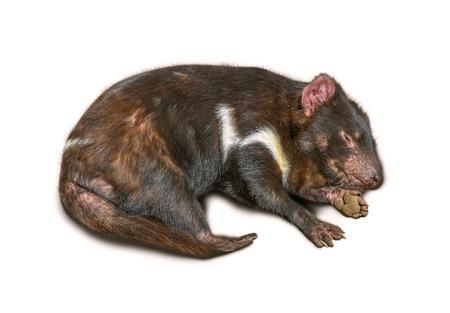 tasmanian: Sleeping Tasmanian Devil isolated on white background.