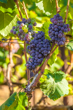 biological vineyard: Red bunch of grapes on a vine ready for picking. From this grape it is produced Retsina, table wine most popular in Greece.