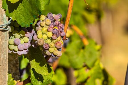 vinery: Red bunch of grapes on a vine in vinery farm. From this grape it is produced Retsina, table wine most popular in Greece. Stock Photo