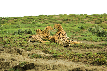 cheetahs: Two young cheetahs with their mother in Tarangire National Park, Tanzania Africa.