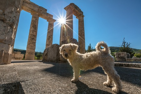 archaeological site: A cute white poodle dog posing in front of the ruins of the Temple of Zeus, Archaeological Site of Ancient Nemea, Peloponnese, Greece.